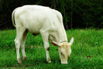 White Asian Bull Calf Grazing Grass
