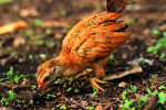 Chicken pullet foraging for food