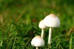 Inedible Poisonous Wild Mushrooms In Grass