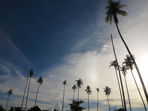 Royalty free image - Coconut tress against a blue sky