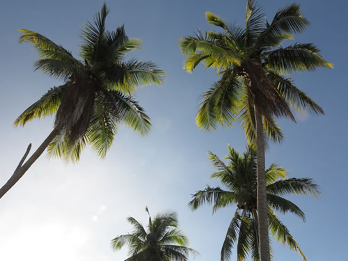 Royalty free image - Coconut trees