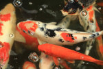 Japanese Koi Fish Swimming In A Pond
