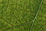 Green Leaf close up – Abstract