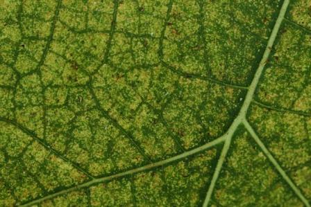 Royalty free image - Leaf close up - Abstract green leaf design