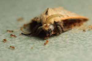 Close up of a moth with ants