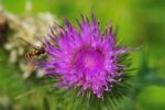Thistle and insect, macro.