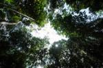 Tall mangrove tree canopy