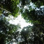 tall mangrove trees canopy